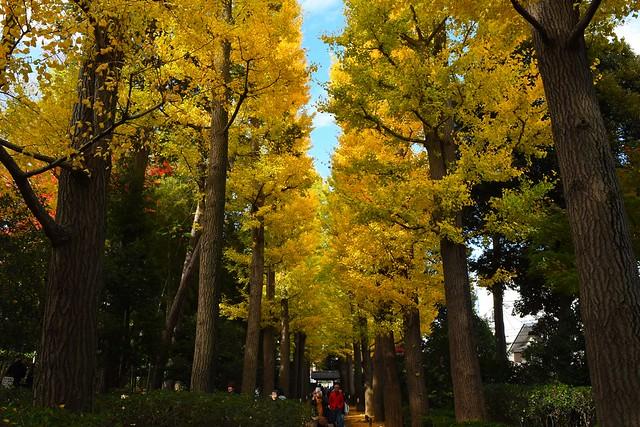 大田黒公園 イチョウ並木