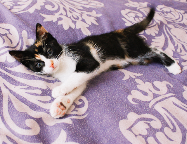 calico kitten on ourple blanket
