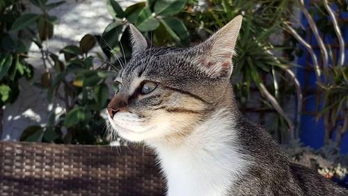 Ferb, gatito blanquipardo activo y muy cariñoso, nacido en Junio´17, en adopción. Valencia. ADOPTADO. 38431999446_7baeb00979