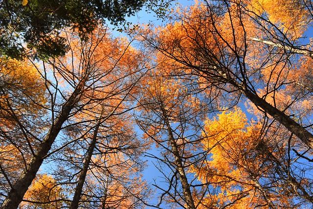 御正体山~石割山 カラマツの紅葉