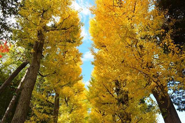 大田黒公園 紅葉のイチョウ並木
