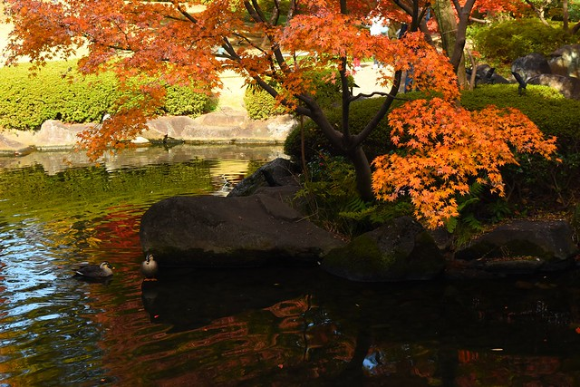 大田黒公園 紅葉とカモ