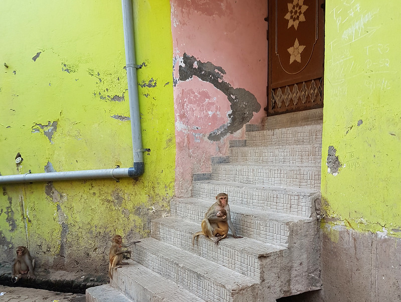 Monkeys in Vrindavan
