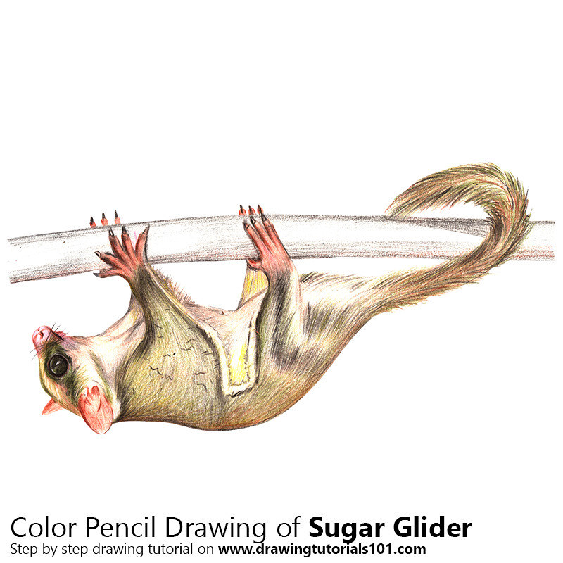 Sugar Glider with Color Pencils [Time Lapse] | Step by Step … | Flickr