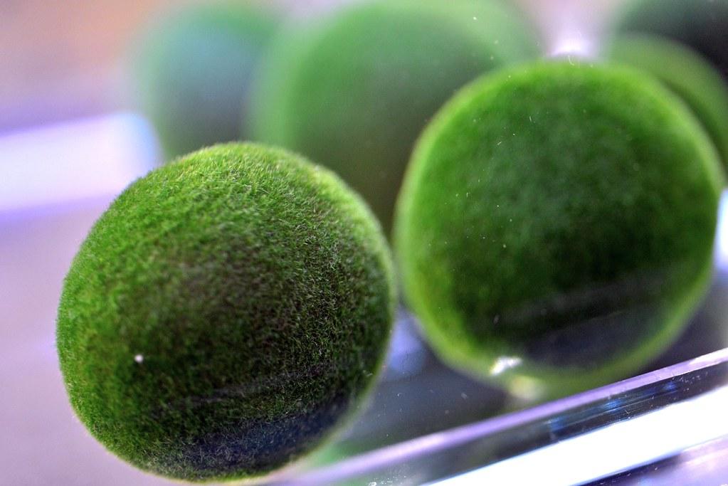 臺博館展出毬藻活體。圖片來源:臺博館