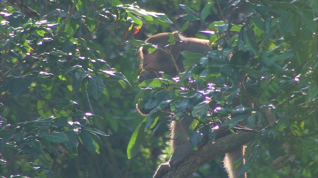 930-1-03猴子來到農民果園準備飽餐一頓。