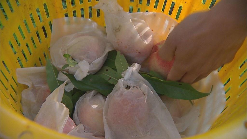 930-1-43花蓮縣秀林鄉的水蜜桃果農,也在台東農改場協助下,嘗試以防猴網減輕損失。