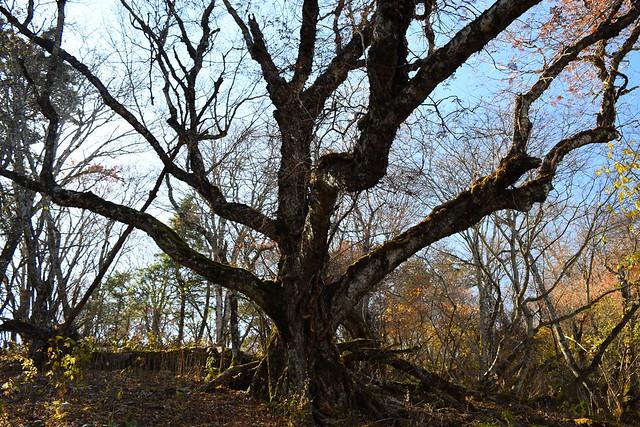 御正体山の大木