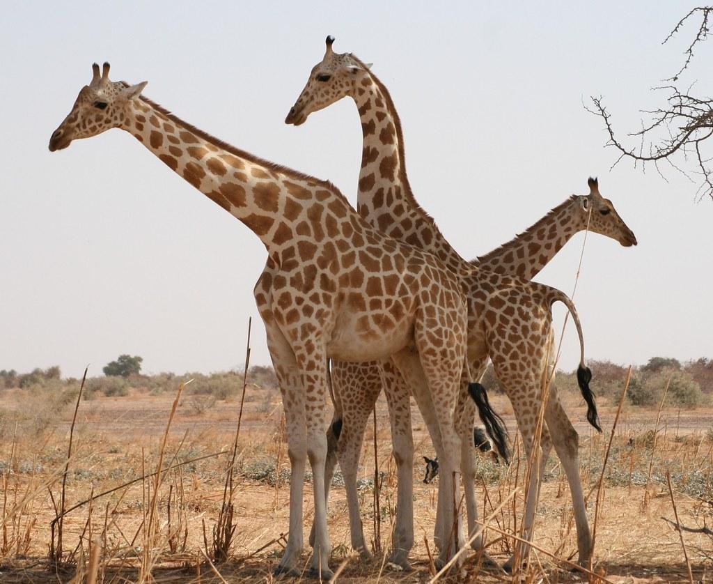 西非長頸鹿網紋長頸鹿,在尼日爾的庫雷地區。圖片來源:Clémence DELMAS 2008 (CC BY 3.0)