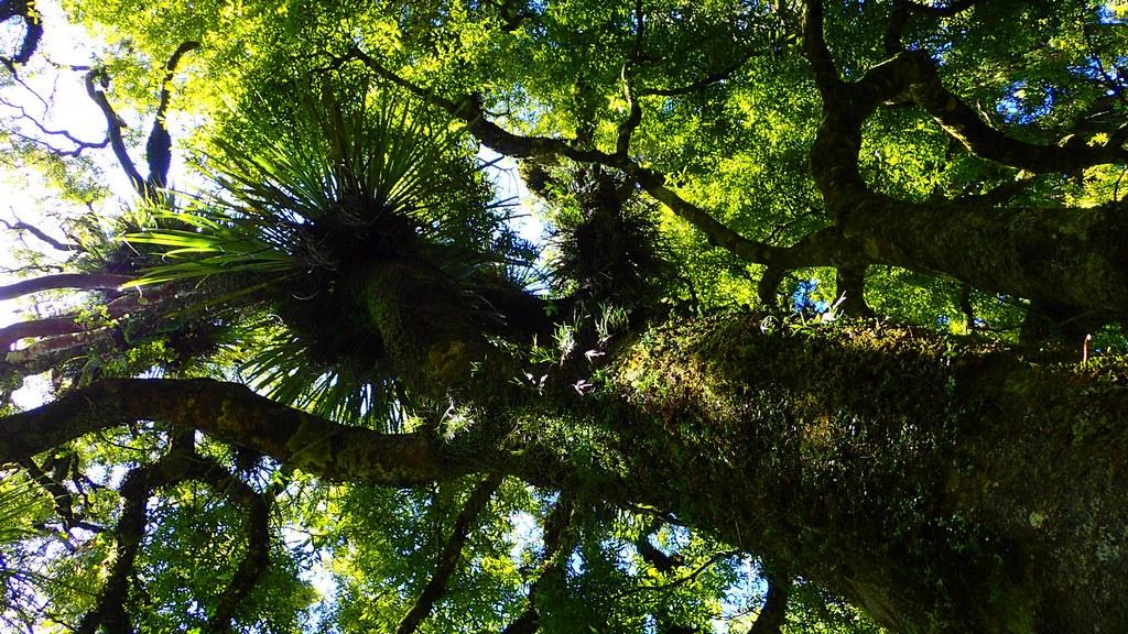 紐西蘭北島的氣候溫暖潮濕,原始林裡充滿著豐美的附生植物