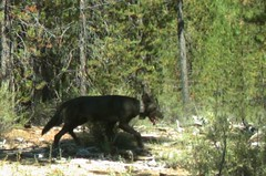 OR-25 on a trail camera photo from 2015. Photo by USFWS and ODFW