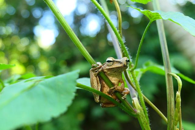 自然谷青蛙