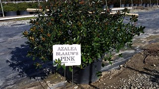 Azalea Blauuw's Pink 7 gal 24-30 | by Johnson Farms