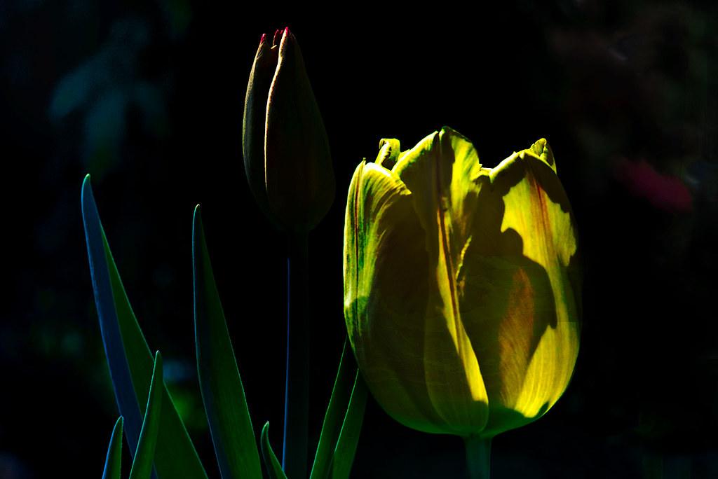 Abstract tulip macro