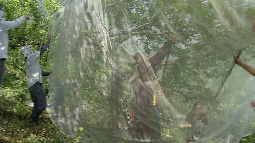 930-1-38花蓮縣秀林鄉的水蜜桃果農,也在台東農改場協助下,嘗試以防猴網減輕損失。