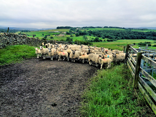 Nosey sheep on the way to Higham
