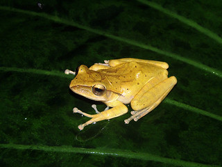 Invasive spot-legged tree frog | by wattanumpty