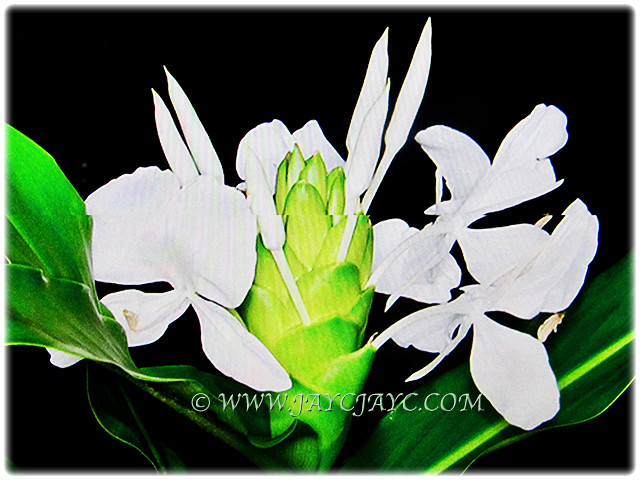 Highly scented white flowers of hedychium coronarium flickr highly scented white flowers of hedychium coronarium by jayjayc mightylinksfo