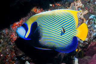 Emperor Angelfish, Eastern form - Pomacanthus imperator | by zsispeo