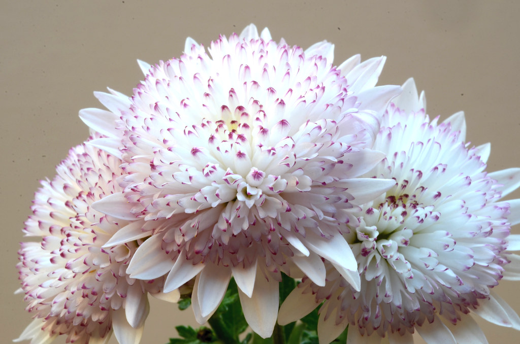 Chrysanthemum Indicum Hybr Herbst Chrysantheme Chrysant Flickr