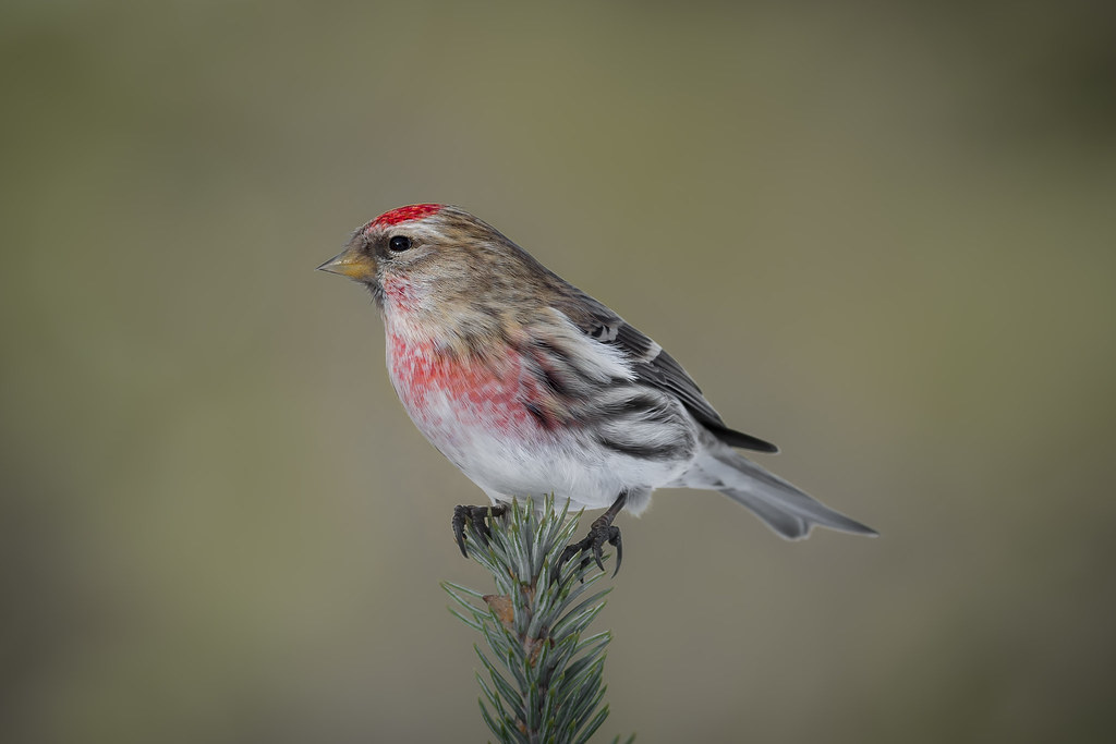 Common Redpoll One Of The Quot Winter Finches Quot From The