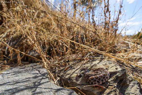 Northern Pacific Rattlesnake (Crotalus oreganus) | by Chad M. Lane