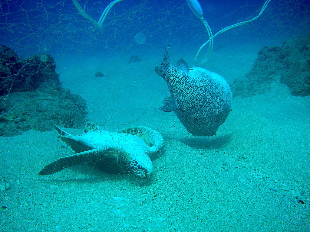 因為海龜溺死在廢棄漁網上,開啟了小琉球海洋志工隊淨海契機,2009年至今已淨海超過230次。(照片提供/小琉球海洋志工隊)