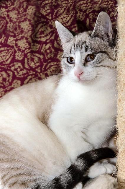 Cuca, gata siamesa tabby tímida y dulce esterilizada, nacida en Agosto´17, en adopción. Valencia. ADOPTADA. 39337861362_3c488942d9_z