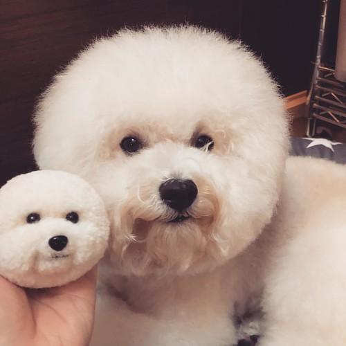 cute 大小分身 #ludan #bichon #網帥狗 #dog...