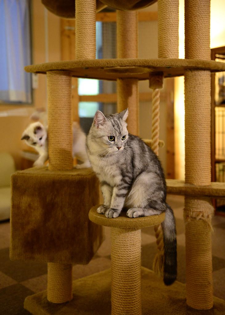 Castillos de juguetes para gatos en uno de los mejores Neko Cafe de Tokio