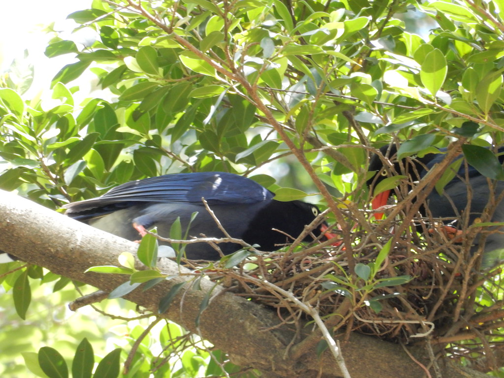 台灣藍鵲重複利用舊巢的機率不高,下一代卻可能同樣在鄰近區域行動。圖片攝於台北市中山區自強公園。圖片提供:台北市動保處。