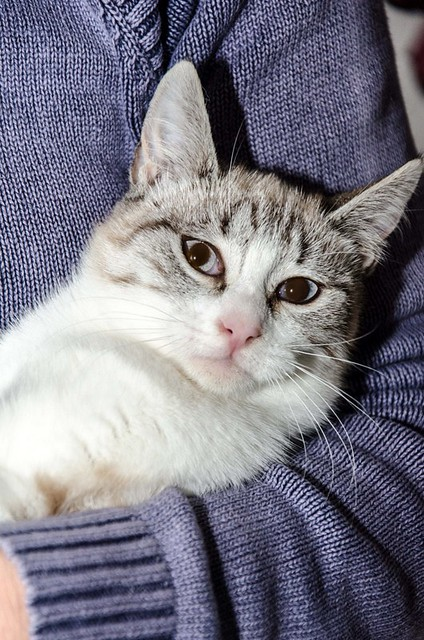 Cuca, gata siamesa tabby tímida y dulce esterilizada, nacida en Agosto´17, en adopción. Valencia. ADOPTADA. 39337857472_0e19c1f051_z