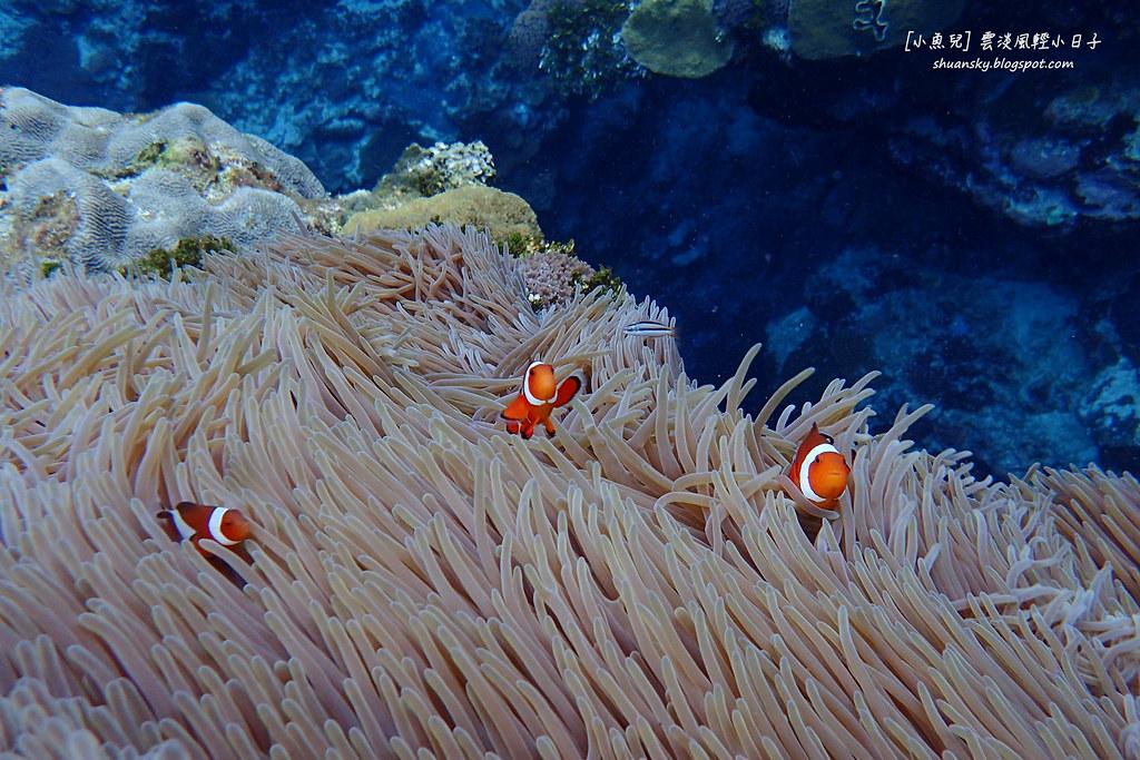 小丑魚。圖片來源:Shuan Liu 魚缸小魚兒(CC BY-NC-ND 2.0)。