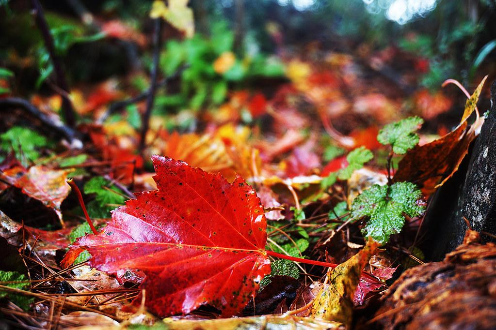 福壽山楓紅- 落葉