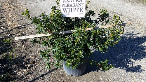 Azalea Girard's Pleasant White 3 gal 18-24 | by Johnson Farms