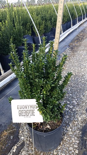 Euonymus Greenspire 3 gal 18-24 | by Johnson Farms