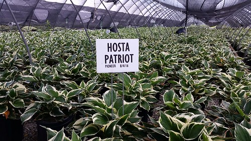 Hosta Patriot 2 gal | by Johnson Farms