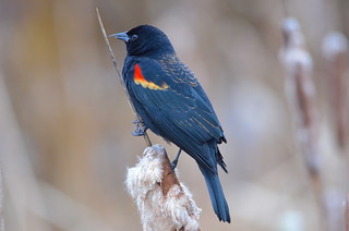 Red-winged Blackbird | by Neal D