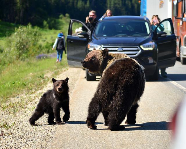 Osos cruzando la carretera en Canadá