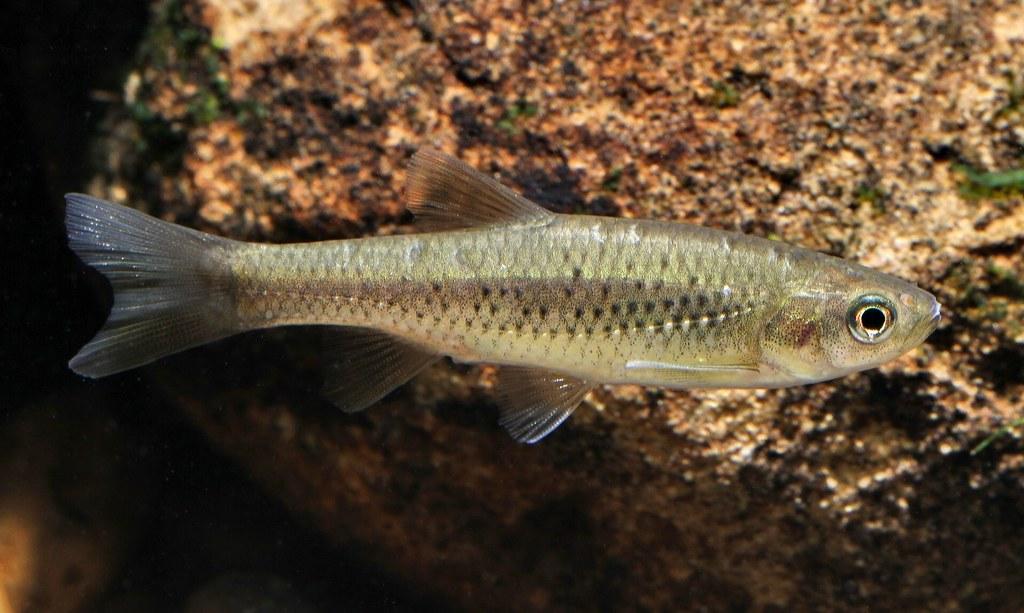 溪流細鯽是2011年發表的新物種。攝影:周銘泰