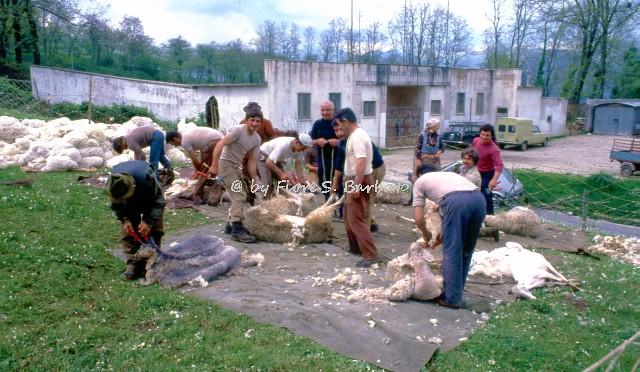 Fiori Bagnoli Irpino : Bagnoli irpino av la tosa primaverile delle pecoru flickr