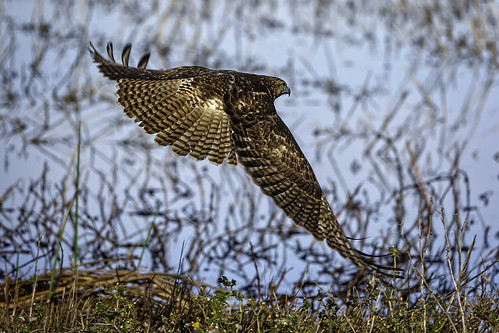 Hawk in Flight #95 | by lennycarl08