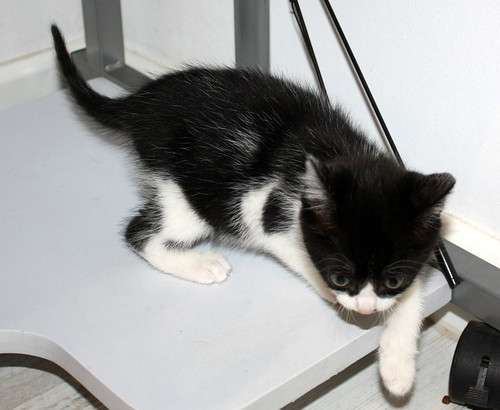 Alice, gatita blanquinegra monisima y dulce nacida en Noviembre´17, en adopción. Valencia. ADOPTADA. 24308932207_904a97e461