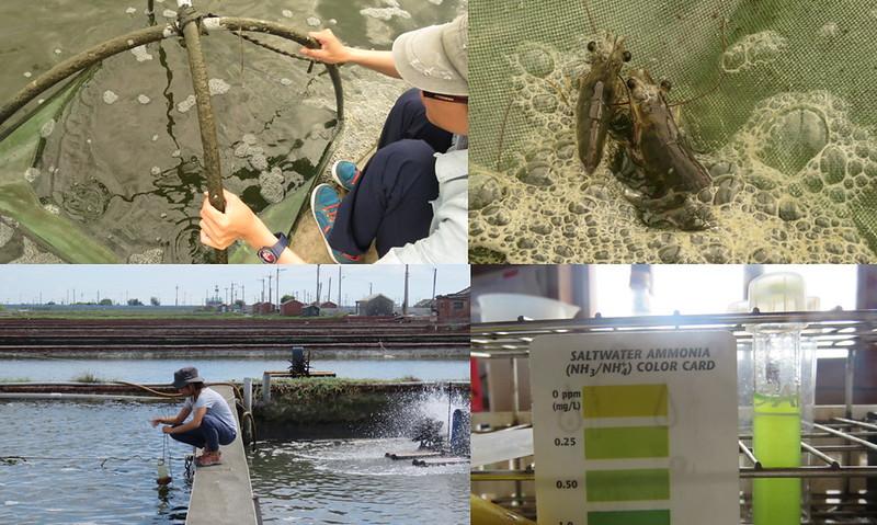 飼養過程中定時檢查池水情況和蝦隻生長的狀況。來源:成龍濕地三代班,http://wetlandcenter.blogspot.tw/2016/10/blog-post.html