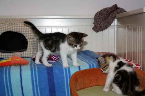 Alina, gatita blanca y parda dependiente y dulce nacida en Noviembre´17, en adopción. Valencia. ADOPTADA. 25304771418_1109011606