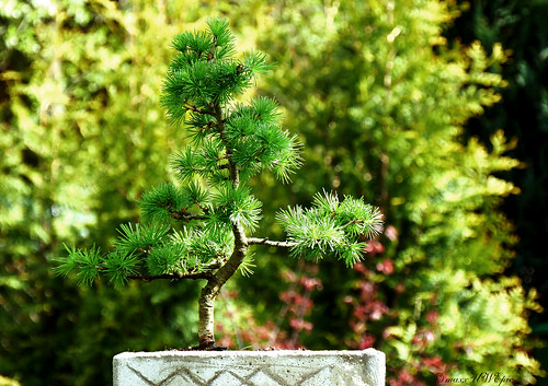 larix kaempferi japanische l rche bonsai uwe maxx flickr. Black Bedroom Furniture Sets. Home Design Ideas