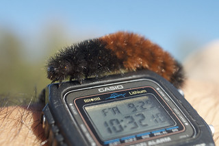 Woolly Bear | by 9brandon
