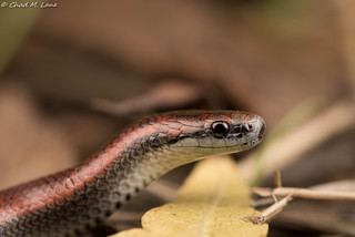 Common Sharp-tailed Snake (Contia tenuis) | by Chad M. Lane