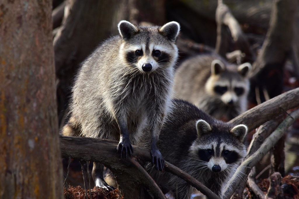 Animals of the Swamp: Raccoons | These are part of a large ...