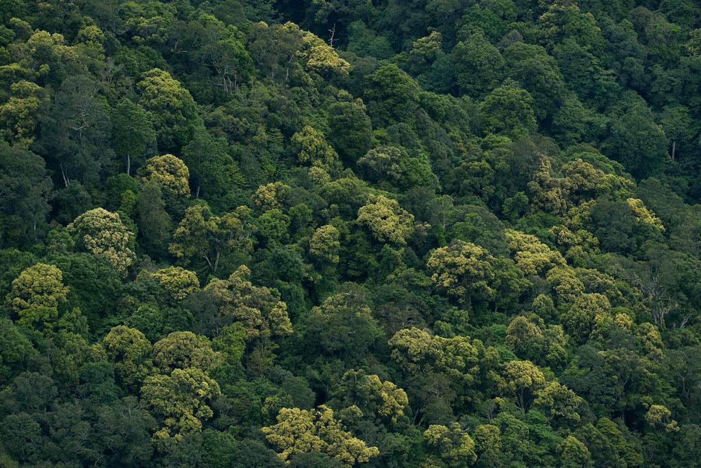 CPC_7412 長尾栲盛花中的觀霧森林